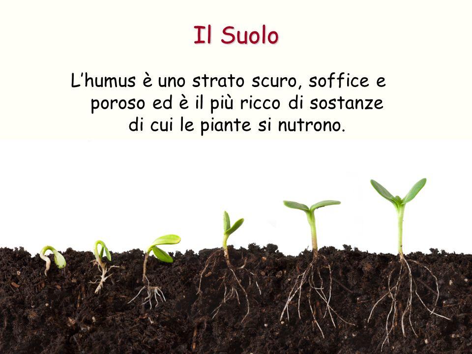 Lhumus è uno strato scuro, soffice e poroso ed è il più ricco di sostanze di cui le piante si nutrono. Il Suolo