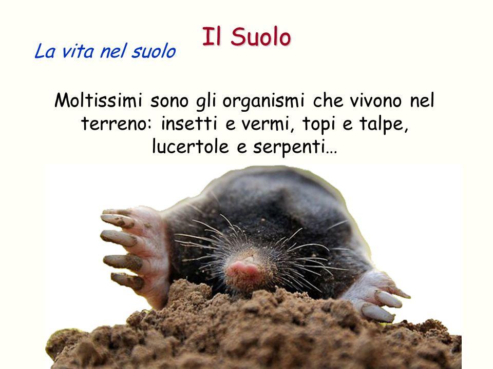 La vita nel suolo Moltissimi sono gli organismi che vivono nel terreno: insetti e vermi, topi e talpe, lucertole e serpenti… Il Suolo