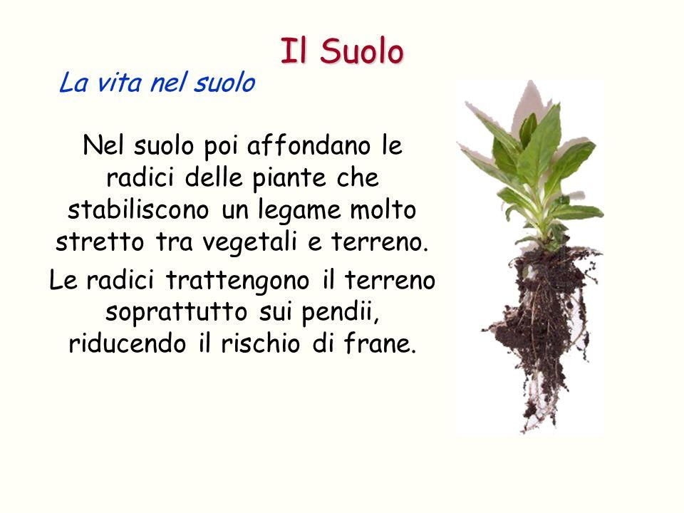 Nel suolo poi affondano le radici delle piante che stabiliscono un legame molto stretto tra vegetali e terreno. Le radici trattengono il terreno sopra