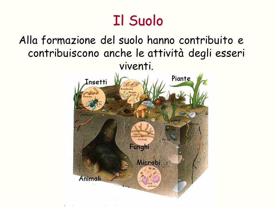 Alla formazione del suolo hanno contribuito e contribuiscono anche le attività degli esseri viventi. Il Suolo