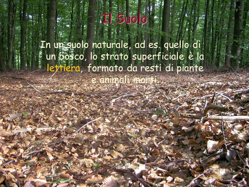 In un suolo naturale, ad es. quello di un bosco, lo strato superficiale è la lettiera, formato da resti di piante e animali morti. Il Suolo