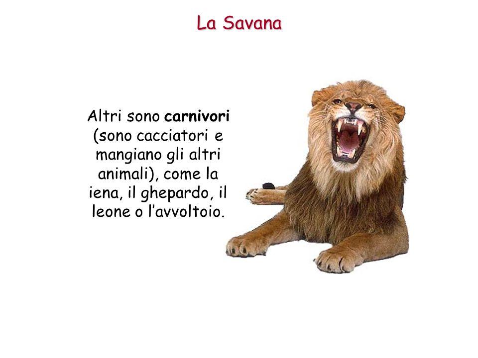 Altri sono carnivori (sono cacciatori e mangiano gli altri animali), come la iena, il ghepardo, il leone o lavvoltoio. La Savana