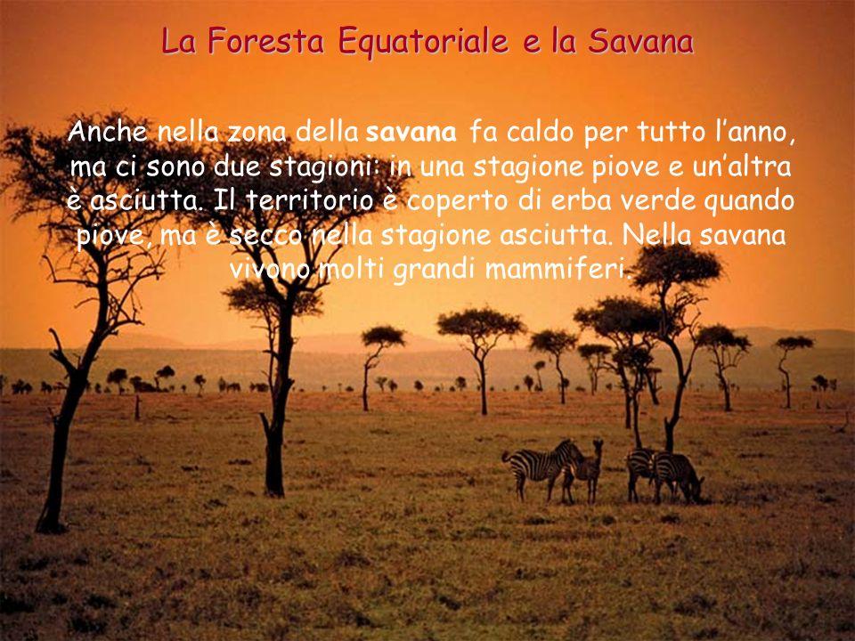 Anche nella zona della savana fa caldo per tutto lanno, ma ci sono due stagioni: in una stagione piove e unaltra è asciutta. Il territorio è coperto d