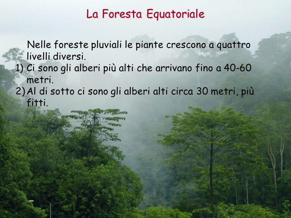 Nelle foreste pluviali le piante crescono a quattro livelli diversi. 1)Ci sono gli alberi più alti che arrivano fino a 40-60 metri. 2)Al di sotto ci s