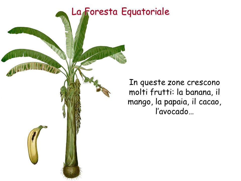 In queste zone crescono molti frutti: la banana, il mango, la papaia, il cacao, lavocado… La Foresta Equatoriale