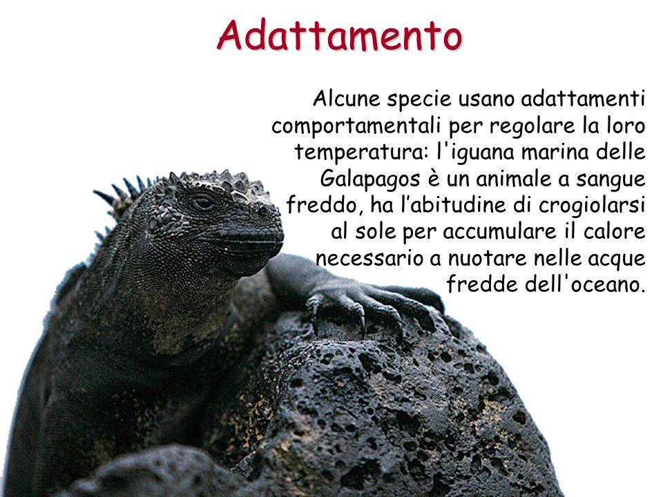 Alcune specie usano adattamenti comportamentali per regolare la loro temperatura: l'iguana marina delle Galapagos è un animale a sangue freddo, ha lab