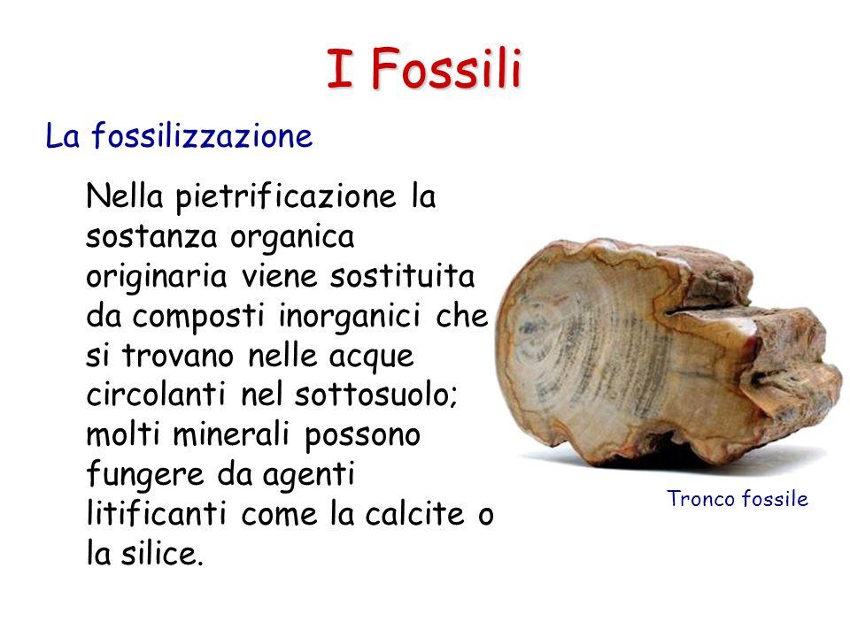 I Fossili Nella pietrificazione la sostanza organica originaria viene sostituita da composti inorganici che si trovano nelle acque circolanti nel sott