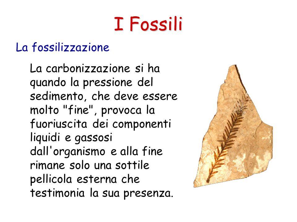 I Fossili La carbonizzazione si ha quando la pressione del sedimento, che deve essere molto