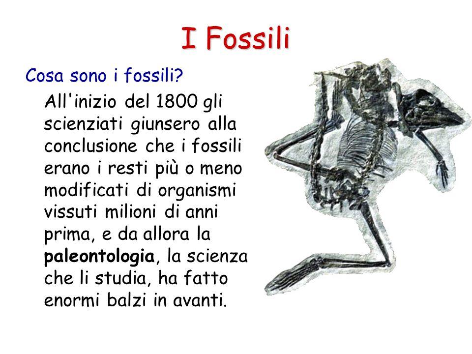 I Fossili Cosa sono i fossili? All'inizio del 1800 gli scienziati giunsero alla conclusione che i fossili erano i resti più o meno modificati di organ
