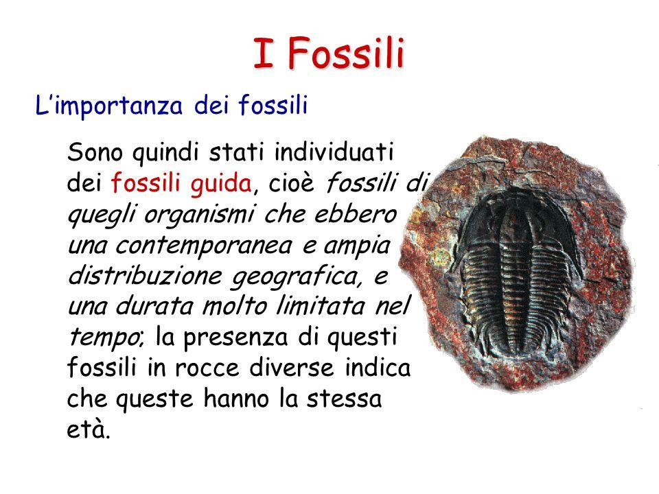 I Fossili Limportanza dei fossili Sono quindi stati individuati dei fossili guida, cioè fossili di quegli organismi che ebbero una contemporanea e amp