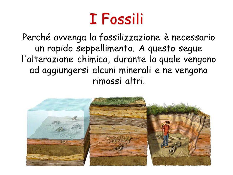 I Fossili Perché avvenga la fossilizzazione è necessario un rapido seppellimento. A questo segue l'alterazione chimica, durante la quale vengono ad ag