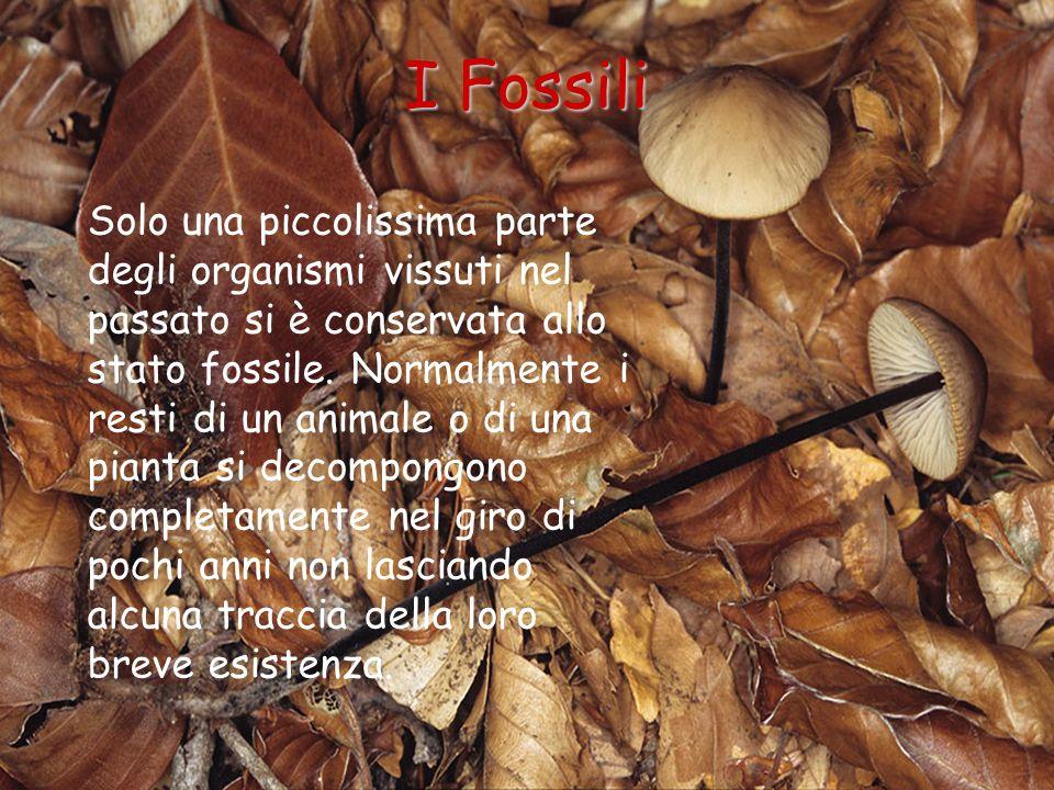 I Fossili Solo una piccolissima parte degli organismi vissuti nel passato si è conservata allo stato fossile. Normalmente i resti di un animale o di u
