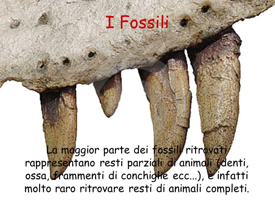 I Fossili La maggior parte dei fossili ritrovati rappresentano resti parziali di animali (denti, ossa, frammenti di conchiglie ecc...), è infatti molt