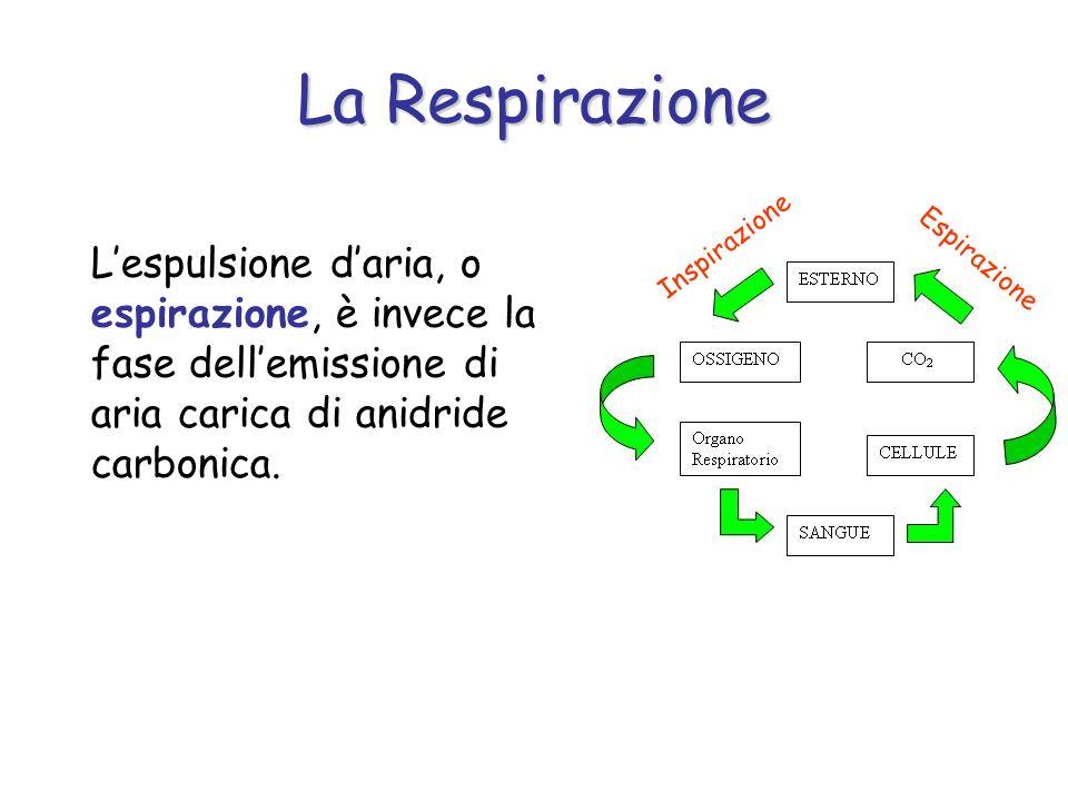La Respirazione Lespulsione daria, o espirazione, è invece la fase dellemissione di aria carica di anidride carbonica. Inspirazione Espirazione