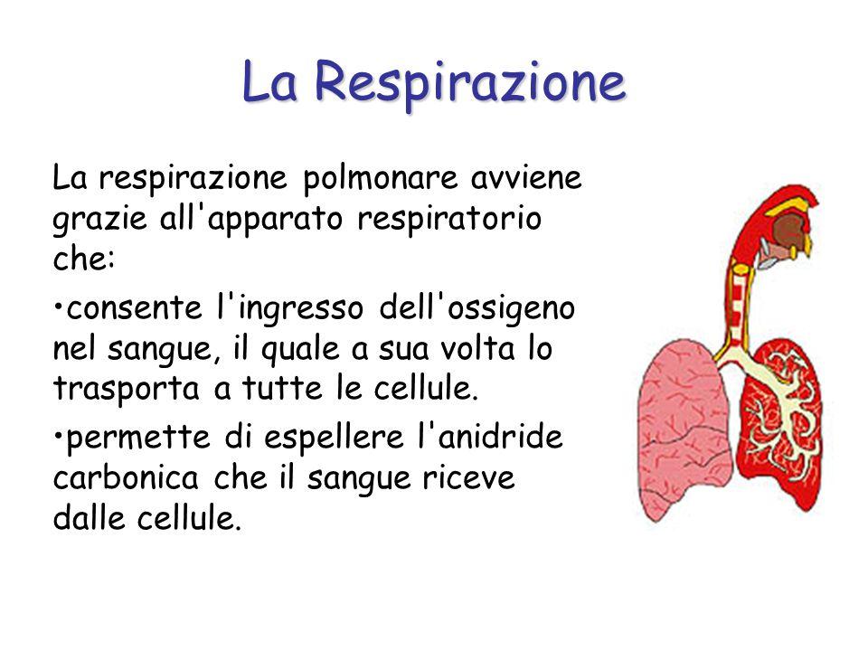 La Respirazione La respirazione polmonare avviene grazie all'apparato respiratorio che: consente l'ingresso dell'ossigeno nel sangue, il quale a sua v