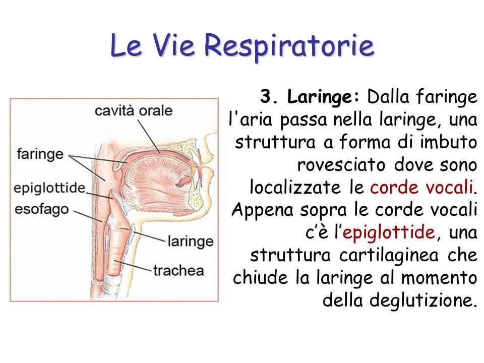 Le Vie Respiratorie 3. Laringe: Dalla faringe l'aria passa nella laringe, una struttura a forma di imbuto rovesciato dove sono localizzate le corde vo