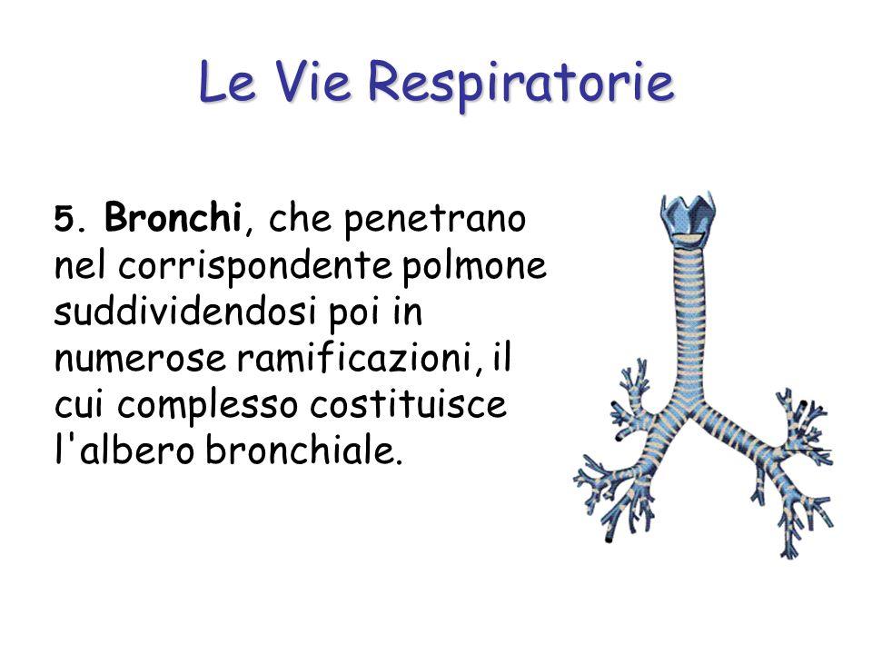 Le Vie Respiratorie 5. Bronchi, che penetrano nel corrispondente polmone suddividendosi poi in numerose ramificazioni, il cui complesso costituisce l'