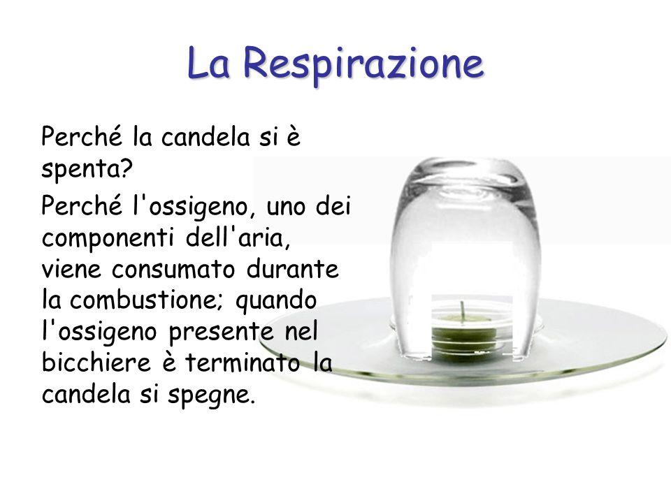 La Respirazione Perché la candela si è spenta? Perché l'ossigeno, uno dei componenti dell'aria, viene consumato durante la combustione; quando l'ossig
