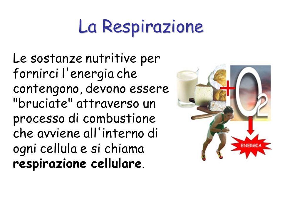 La Respirazione Le sostanze nutritive per fornirci l'energia che contengono, devono essere