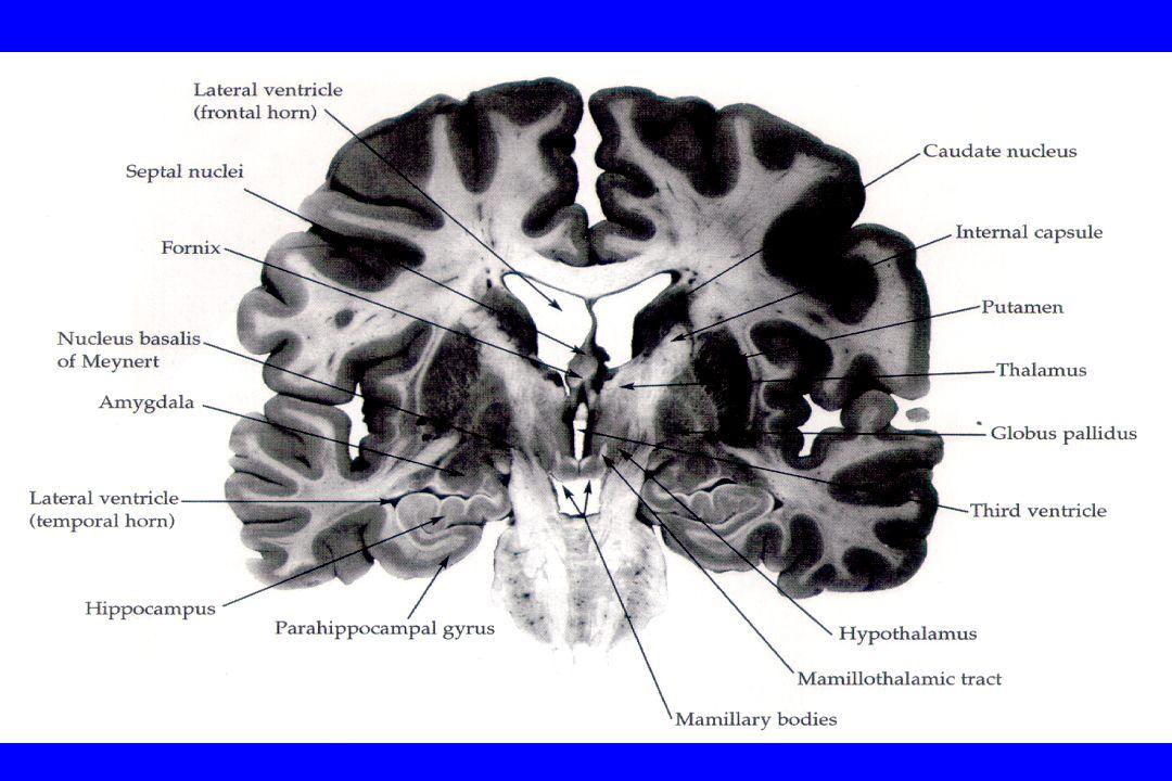 AMIGDALA STIMOLAZIONE DELLAMIGDALA Paura Ansia Tachicardia Ipertensione arteriosa Aumentata tensione muscolare Incremento delle catecolamine circolanti Stimolazione della secrezione di CRH (corticotropin-releasing hormon)
