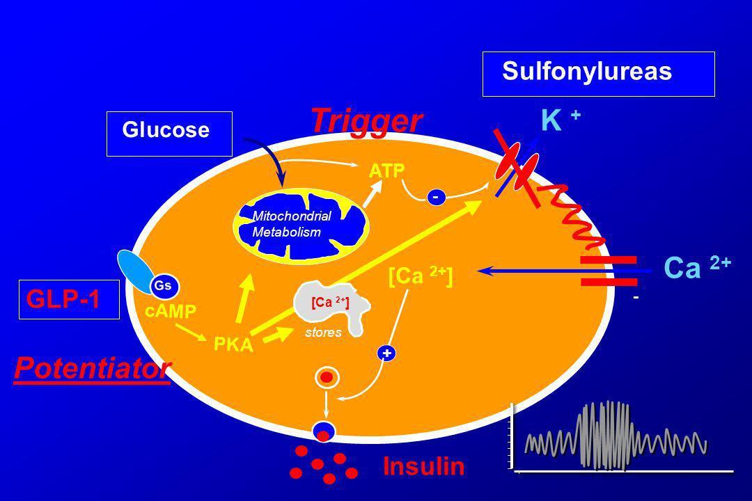 ATP [Ca 2+ ] Mitochondrial Metabolism + - - K + Ca 2+ Sulfonylureas Gs GLP-1 PKA cAMP Potentiator Trigger Insulin stores [Ca 2+ ] Glucose