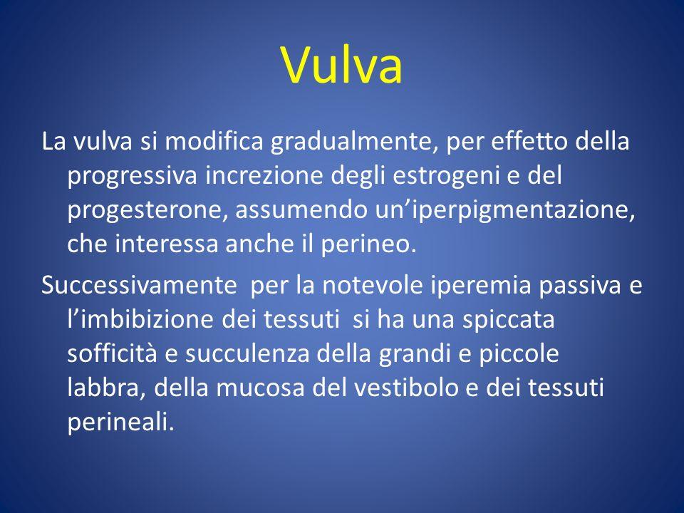 Vulva La vulva si modifica gradualmente, per effetto della progressiva increzione degli estrogeni e del progesterone, assumendo uniperpigmentazione, che interessa anche il perineo.