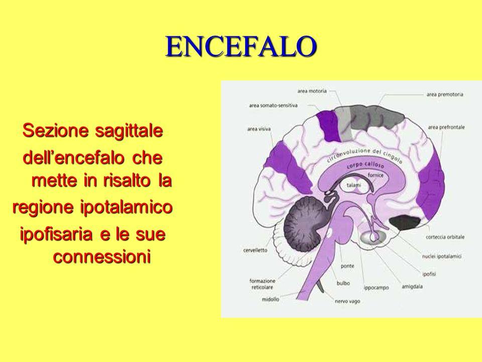 ENCEFALO Sezione sagittale dellencefalo che mette in risalto la regione ipotalamico ipofisaria e le sue connessioni