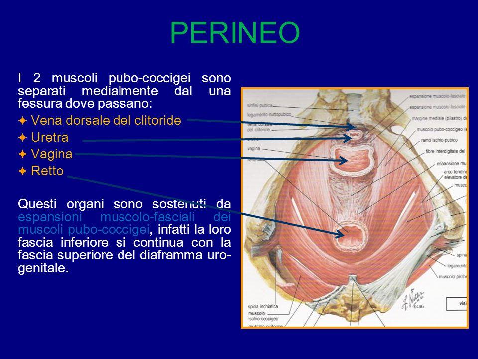 I 2 muscoli pubo-coccigei sono separati medialmente dal una fessura dove passano: Vena dorsale del clitoride Uretra Vagina Retto Questi organi sono so