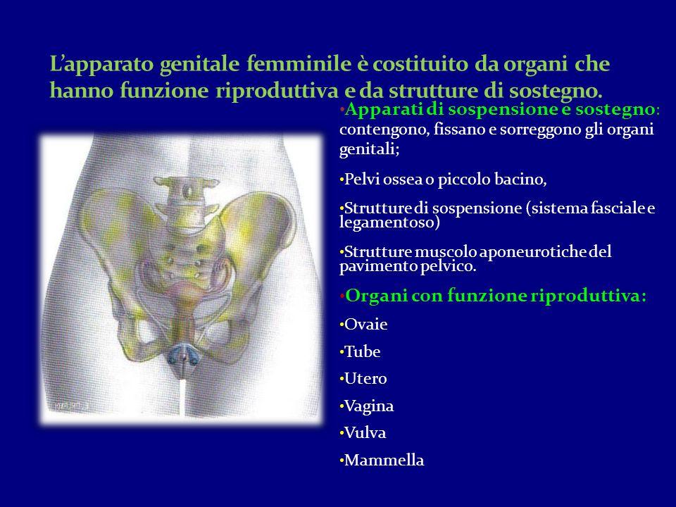 Apparati di sospensione e sostegno : contengono, fissano e sorreggono gli organi genitali; Pelvi ossea o piccolo bacino, Strutture di sospensione (sis