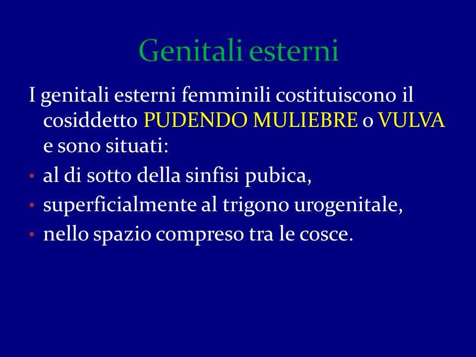 I genitali esterni femminili costituiscono il cosiddetto PUDENDO MULIEBRE o VULVA e sono situati: al di sotto della sinfisi pubica, superficialmente a