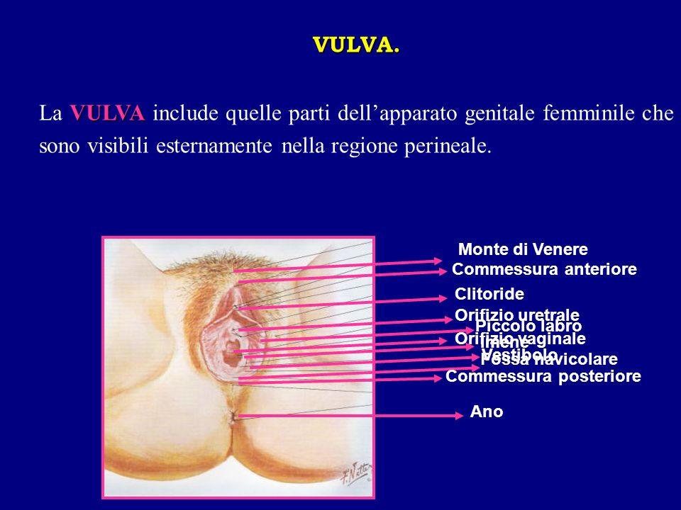 VULVA. VULVA La VULVA include quelle parti dellapparato genitale femminile che sono visibili esternamente nella regione perineale. Monte di Venere Com