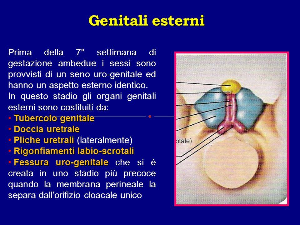 Prima della 7° settimana di gestazione ambedue i sessi sono provvisti di un seno uro-genitale ed hanno un aspetto esterno identico. In questo stadio g