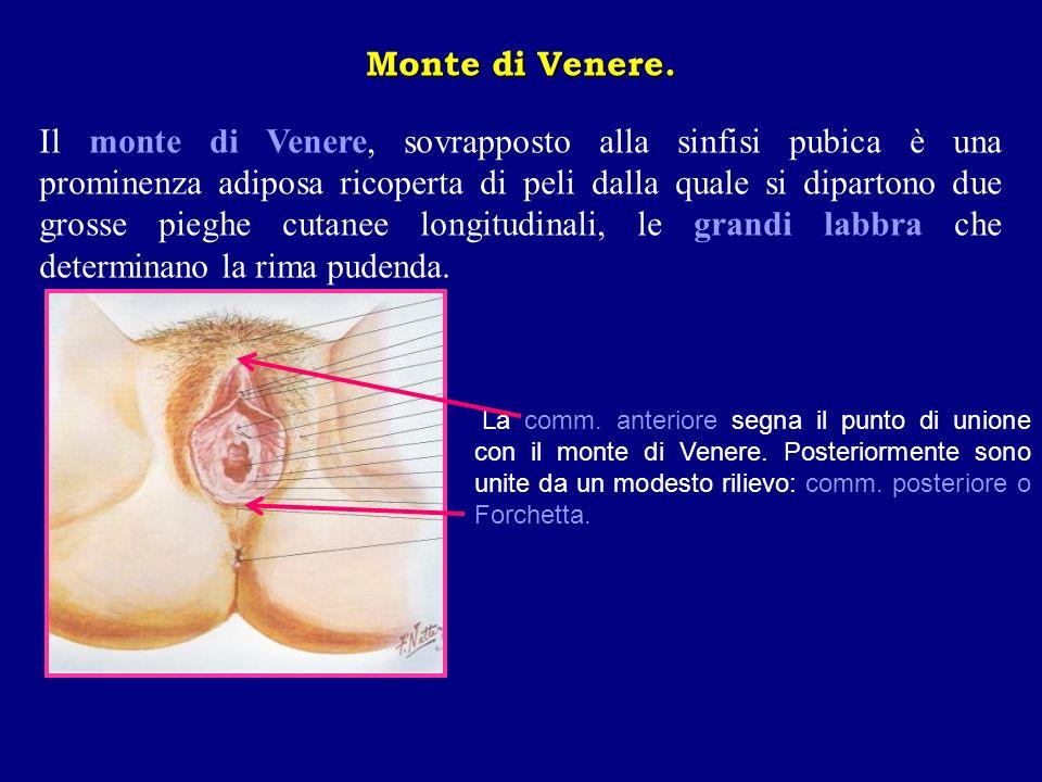 Monte di Venere. Il monte di Venere, sovrapposto alla sinfisi pubica è una prominenza adiposa ricoperta di peli dalla quale si dipartono due grosse pi