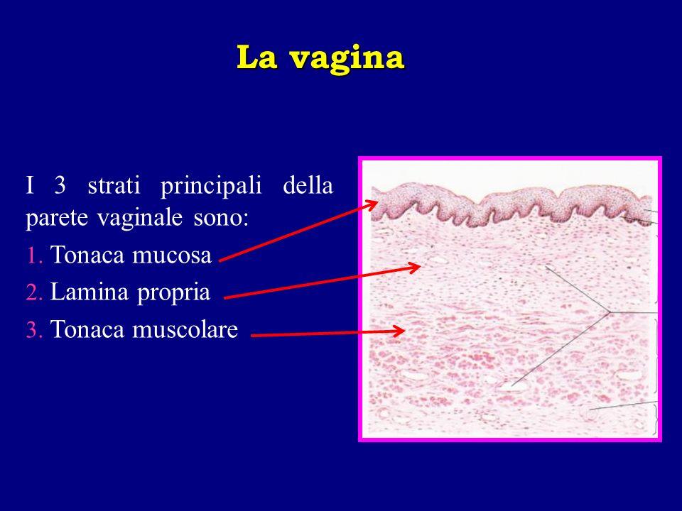 I 3 strati principali della parete vaginale sono: 1. Tonaca mucosa 2. Lamina propria 3. Tonaca muscolare La vagina