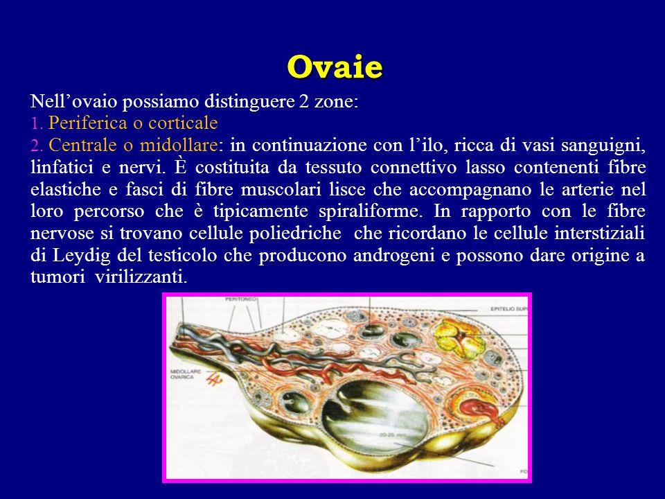 Nellovaio possiamo distinguere 2 zone: 1. Periferica o corticale 2. Centrale o midollare: in continuazione con lilo, ricca di vasi sanguigni, linfatic