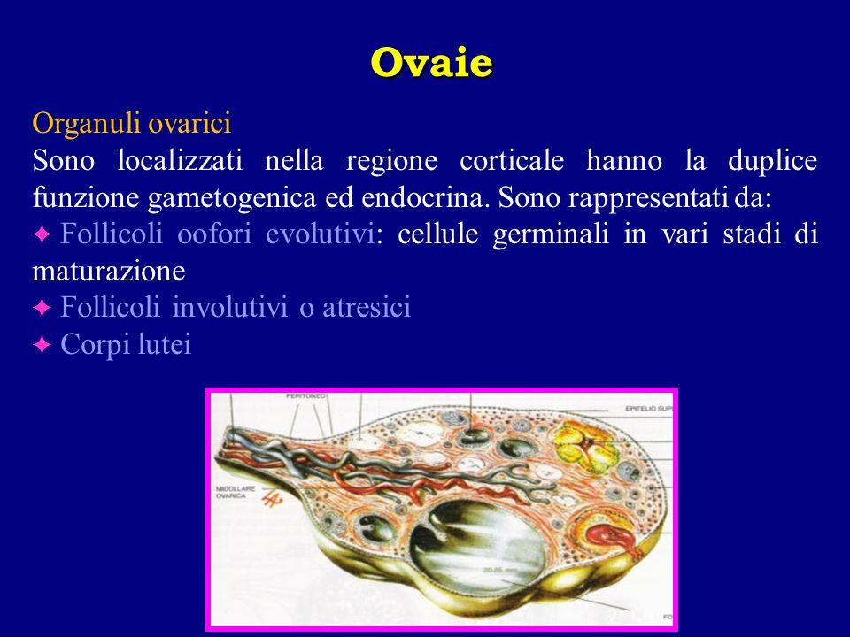Organuli ovarici Sono localizzati nella regione corticale hanno la duplice funzione gametogenica ed endocrina. Sono rappresentati da: Follicoli oofori