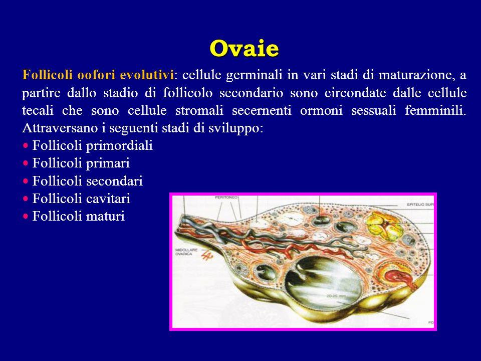 Follicoli oofori evolutivi: cellule germinali in vari stadi di maturazione, a partire dallo stadio di follicolo secondario sono circondate dalle cellu