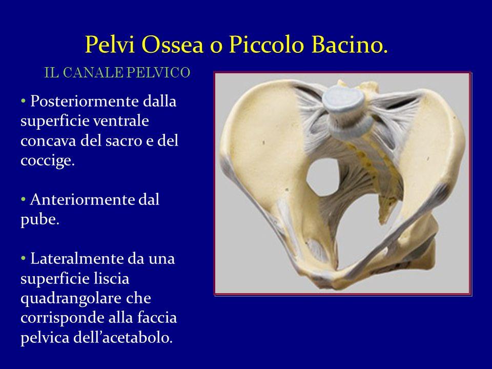 Pelvi Ossea o Piccolo Bacino. IL CANALE PELVICO Posteriormente dalla superficie ventrale concava del sacro e del coccige. Anteriormente dal pube. Late