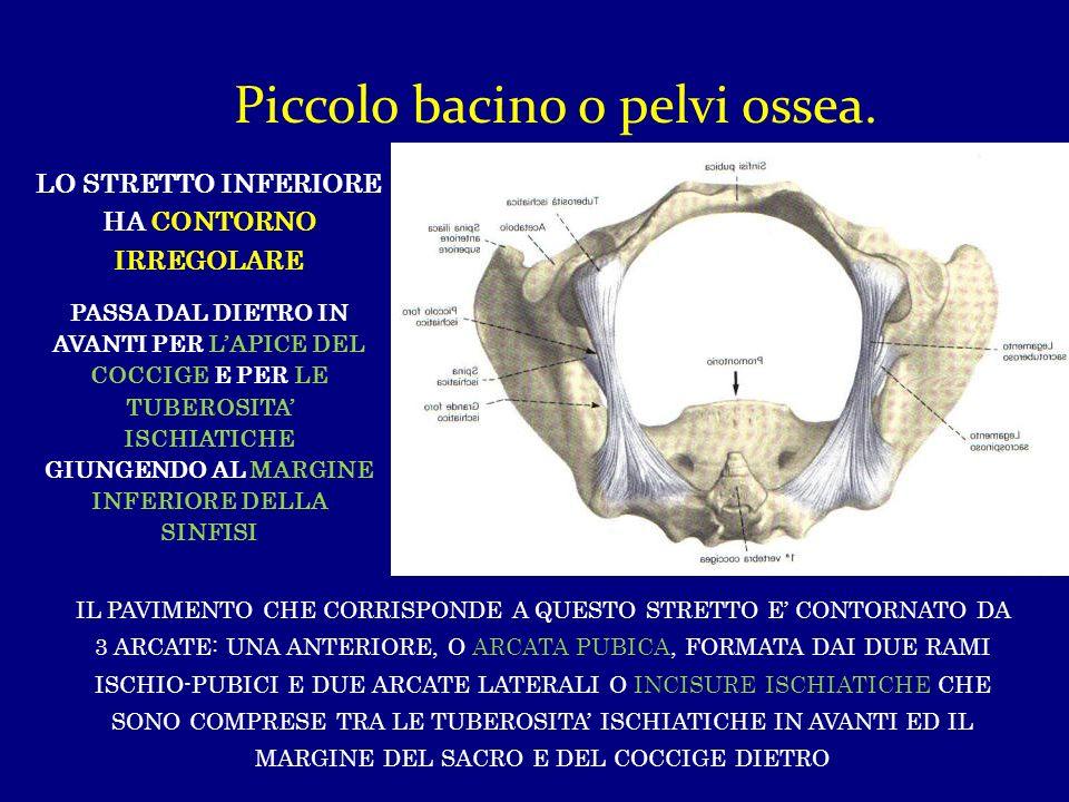 Piccolo bacino o pelvi ossea. LO STRETTO INFERIORE HA CONTORNO IRREGOLARE PASSA DAL DIETRO IN AVANTI PER LAPICE DEL COCCIGE E PER LE TUBEROSITA ISCHIA