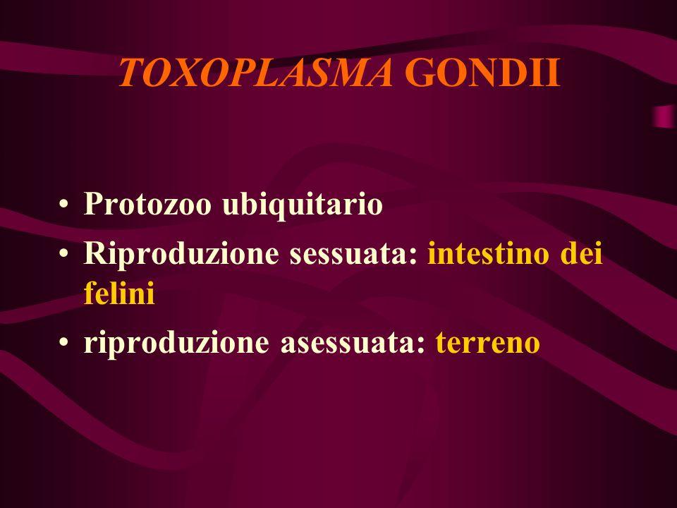 TOXOPLASMA GONDII Protozoo ubiquitario Riproduzione sessuata: intestino dei felini riproduzione asessuata: terreno