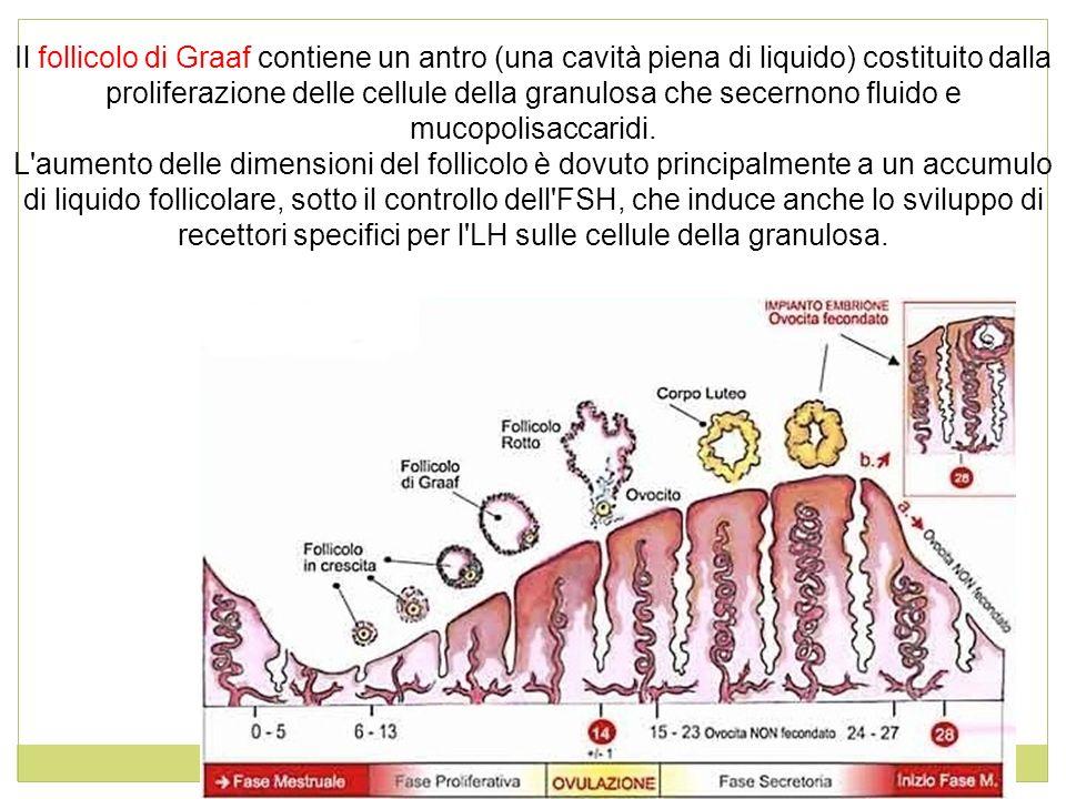 Il follicolo di Graaf contiene un antro (una cavità piena di liquido) costituito dalla proliferazione delle cellule della granulosa che secernono flui