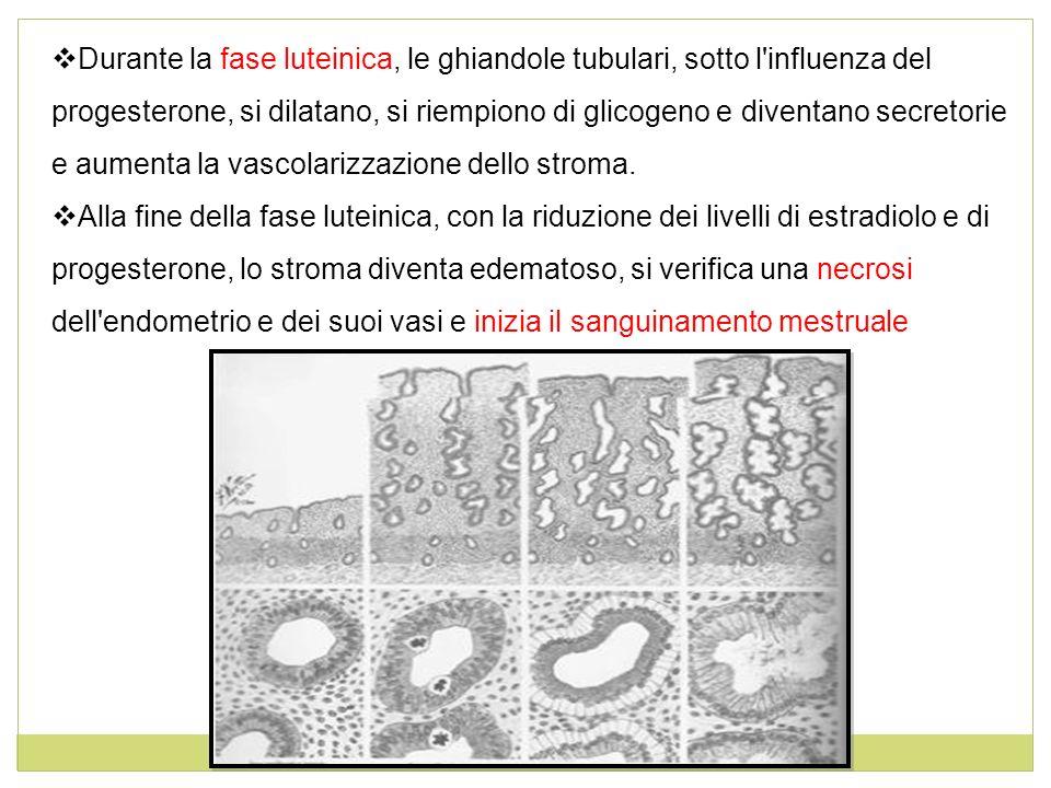 Durante la fase luteinica, le ghiandole tubulari, sotto l'influenza del progesterone, si dilatano, si riempiono di glicogeno e diventano secretorie e