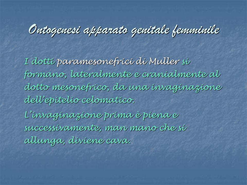 Ontogenesi apparato genitale femminile I dotti paramesonefrici di Muller si formano, lateralmente e cranialmente al dotto mesonefrico, da una invagina