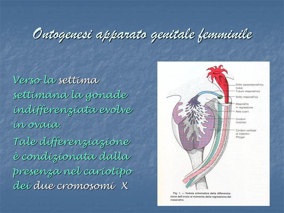 Ontogenesi apparato genitale femminile Verso la settima settimana la gonade indifferenziata evolve in ovaia. Tale differenziazione è condizionata dall