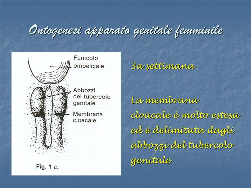 Ontogenesi apparato genitale femminile 3a settimana La membrana cloacale è molto estesa ed è delimitata dagli abbozzi del tubercolo genitale