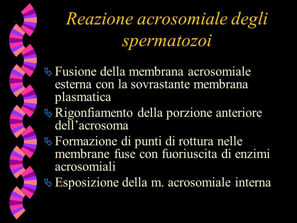 Reazione acrosomiale degli spermatozoi Fusione della membrana acrosomiale esterna con la sovrastante membrana plasmatica Rigonfiamento della porzione