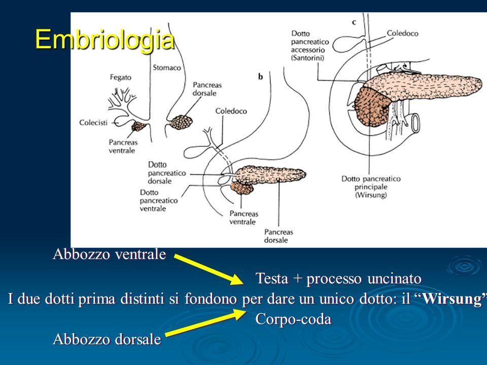 Embriologia Abbozzo ventrale Abbozzo dorsale Testa + processo uncinato Corpo-coda I due dotti prima distinti si fondono per dare un unico dotto: il Wirsung
