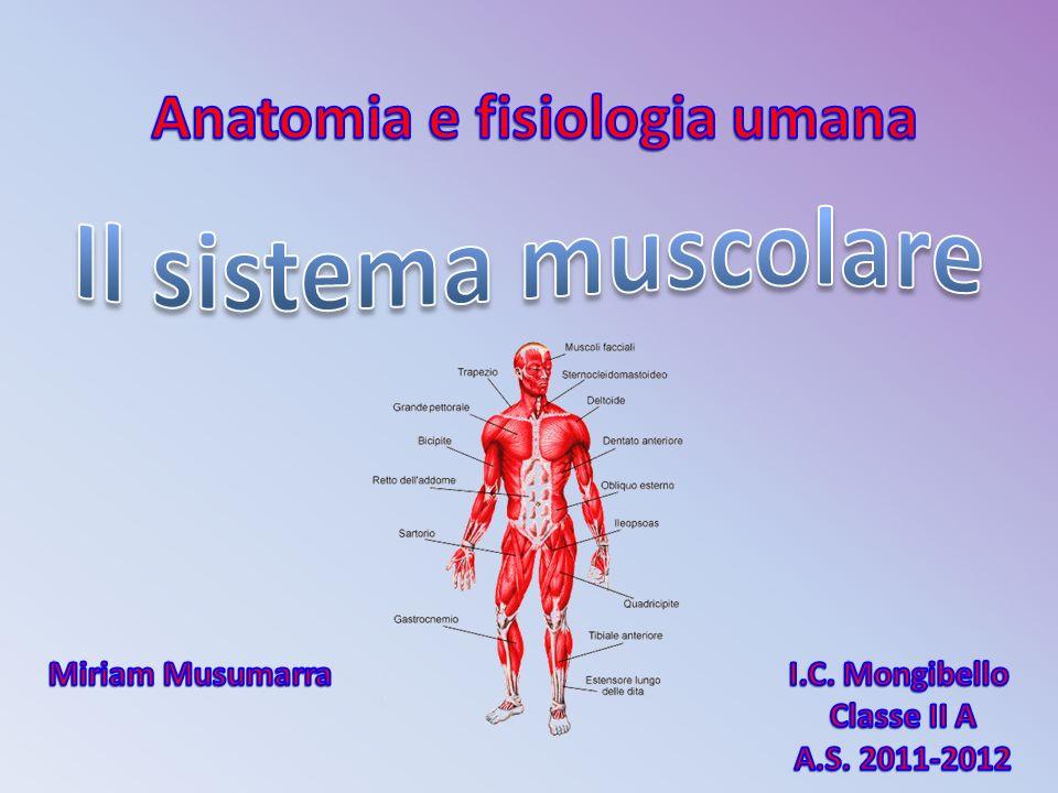 I movimenti del nostro corpo sono consentiti dai muscoli che nel loro insieme formano il sistema muscolare.
