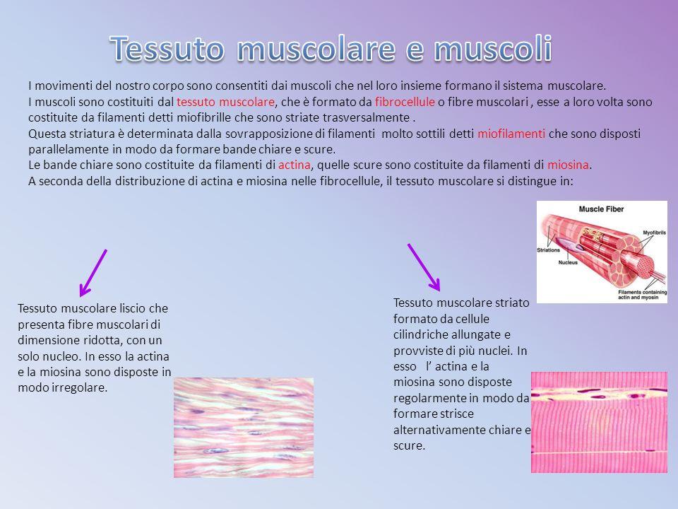 A seconda del tessuto di cui sono formati, i muscoli si distinguono in: Muscoli lisci formati da tessuto muscolare liscio.