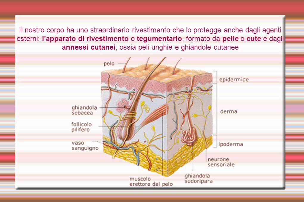 Il nostro corpo ha uno straordinario rivestimento che lo protegge anche dagli agenti esterni: l'apparato di rivestimento o tegumentario, formato da pe